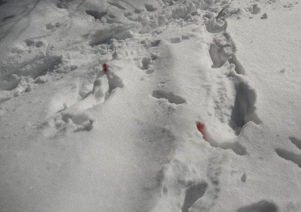 Un capriolo ferito ha lasciato tracce di sangue sulla neve